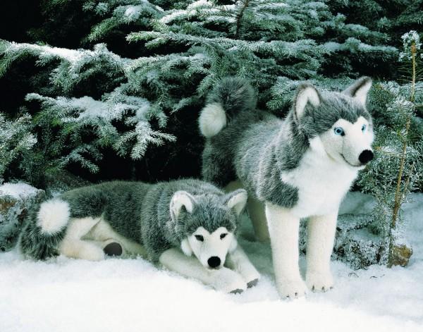 Husky, liegend
