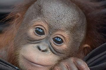 orang-utan-baby-mit-zwei-kugeln-im-koerper-gerettet-3769